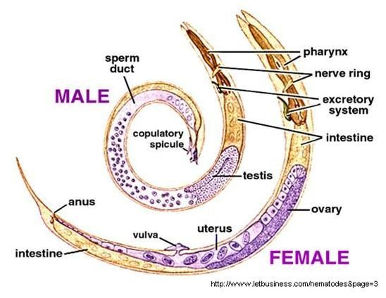 Anatomy of a roundworm