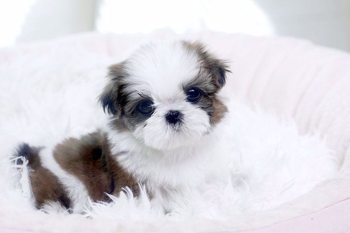 Dogs And Puppies For Sale Adoption Teacup Maltese In 2020 Teacup Puppies Maltese Maltese Puppies For Sale Maltese Puppy
