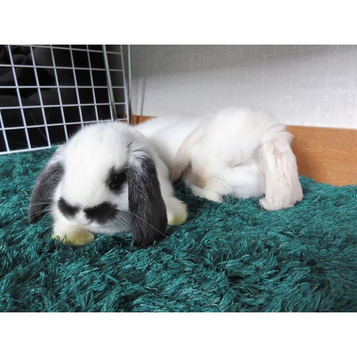 仲良しすぎて笑 おこげがたれ蔵の隣にぴたっと #たれ蔵#おこげ#ホーランドロップイヤー#ホーランドロップ#うさぎ#ふわもこ部#ミニロップイヤー#rabbit#kawaii#cute#hollandlop#ロップイヤー#うさぎ部#rabbitstagram#bunny#bunnystagram#bunnylover#bunnylove#bunnies#bunniyrabbit#rabbits#pets#petsofinstagram#petscorner by tarezoxokoge