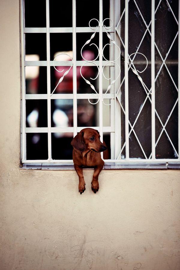 {little doxie at the window} by Virginie Fréchette, Cuba