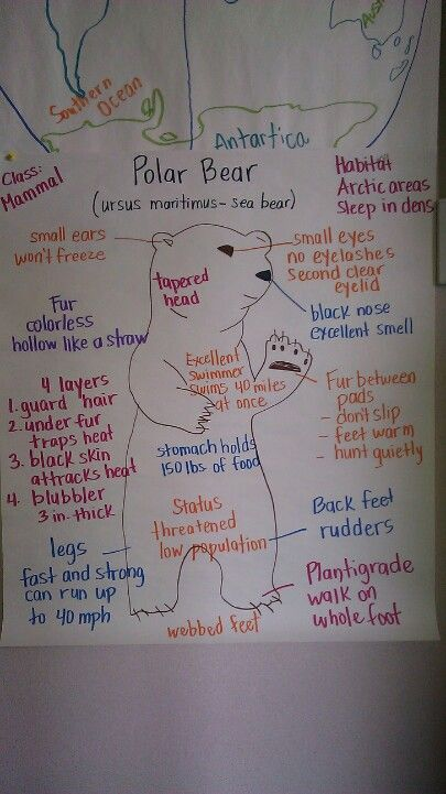 Animal Adaptations: Polar bear - Could have used this last week!