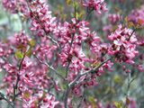 NPIN: Cercis canadensis (Eastern redbud)