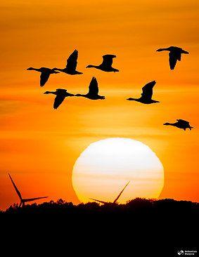 Sunset with ducks at Hornborgasjön