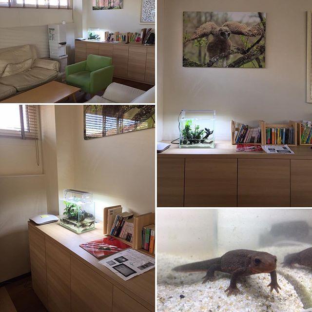 【maco_frog_design】さんのInstagramをピンしています。 《2017,2,16 【メンテナンス水槽】 こんばんわ、Maco frog designのまこです。(*゚▽゚)ノ 東京は暖かい夜ですね(´∀`) . またまたイモリくん水槽です☆ こちらは都内某企業様の休憩室です( ^ω^ ) ちょっとしたスペースに癒しを☆ . 動きがユニークなイモリくんは見ていて飽きません♪ . 去年はこの水槽で子供も産まれました(o^^o) . 今回はイモリくんの写真も忘れずにパシャリ✨ . ◼︎◼︎◼︎◼︎◼︎◼︎◼︎◼︎◼︎◼︎◼︎◼︎◼︎◼︎◼︎◼︎◼︎◼︎◼︎◼︎◼︎◼︎◼︎ #MACO frog design #アクアリウム #レイアウト水槽 #水草水槽 #水草レイアウト #水槽メンテナンス #水槽 #熱帯魚 #ネイチャーアクアリウム #ADA #アクアデザインアマノ #植物 #観葉植物 #インテリア #ペット #癒し #aquarium #アカハライモリ #休憩室 #品川区 ◼︎◼︎◼︎◼︎◼︎◼︎◼︎◼︎◼︎◼︎◼︎◼︎◼︎◼︎◼︎◼︎◼︎◼︎◼︎◼︎◼︎...