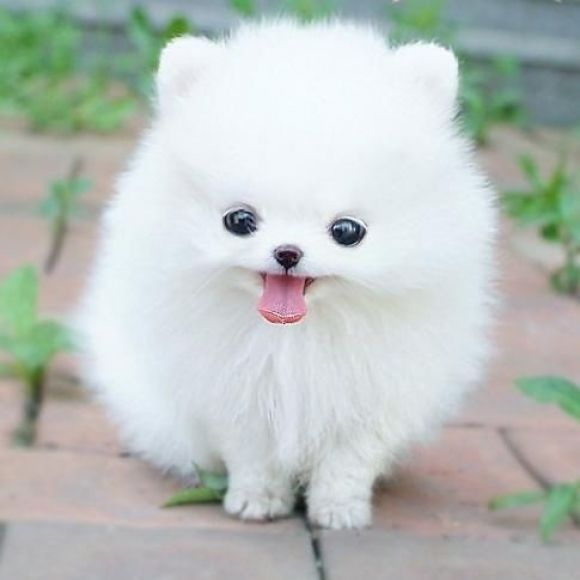 Puffy white puppy with a silly/cute expression! Aww!