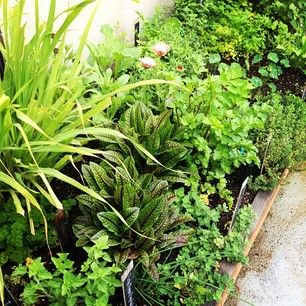 Star Apple Edible Gardens.  We are growing lots of herbs and edible flowers for a local chef on his rooftop! Shown here are lemon grass, red-veined sorrel, calendula, Potager (ornamental vegetable/kitchen garden)