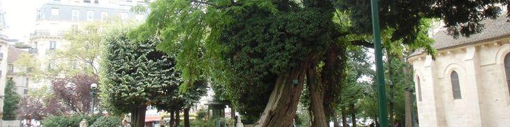 PARIS : PCPL vous emmène découvrir le plus vieil arbre de la capitale. www.parciparla.fr