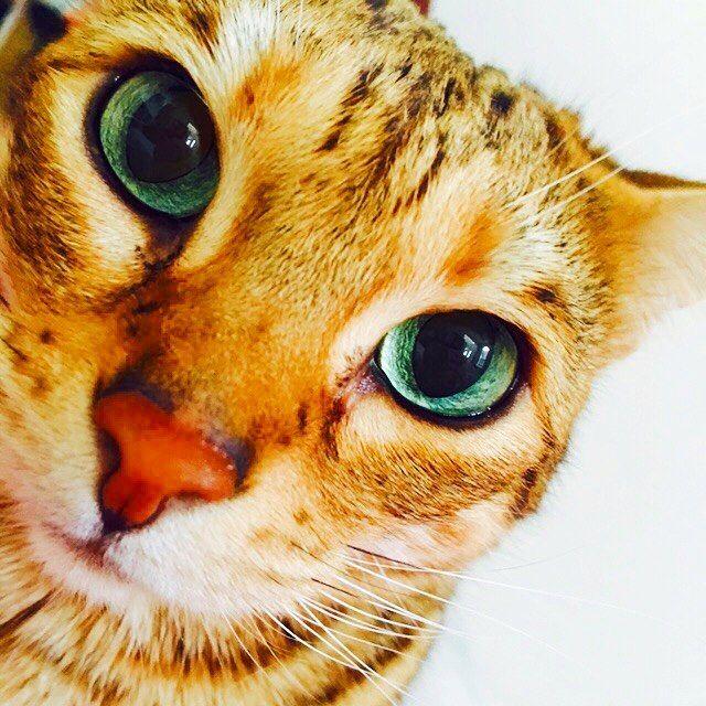 #savannahcat  #wildcats #cat  #pet #gorgeous  #lovely  #ilovemylife  #wıld  #happy  #like4like  #lifestyle  #サバンナキャット #ワイルドキャット #愛猫 #ペット #ゴージャス  #猫好き #ハッピー #海外生活 #アメリカ