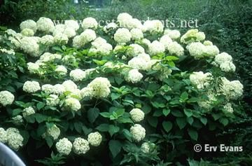 Annabelle HydrangeaGoogle Image, Annabelle Hydrangeas, Hydrangeas Arborescens, Arborescens Annabelle, Front Yards, 360 237 Pixel, Outdoor Spaces, Hydrangeas Annabelle Jpg, Gardening Landscapes