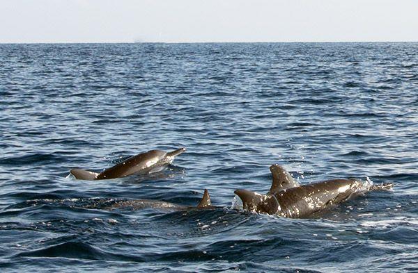 En morgen med delfiner ved Lovina   ➙ Rejseguide og inspiration fra Valdemarsro.dk