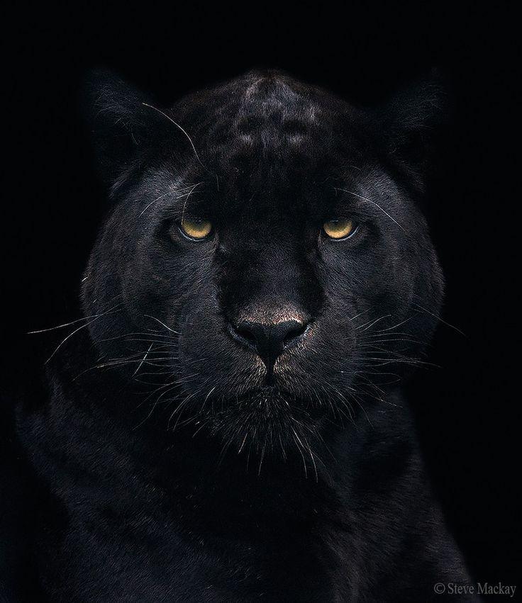 Best 25+ Black jaguar ideas on Pinterest | Jaguar animal ... - photo#23