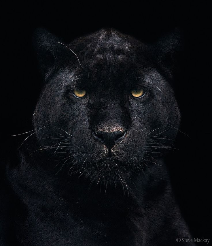 """Black Jaguar"" ~ Photography by Steve Mackay on 500px ..."