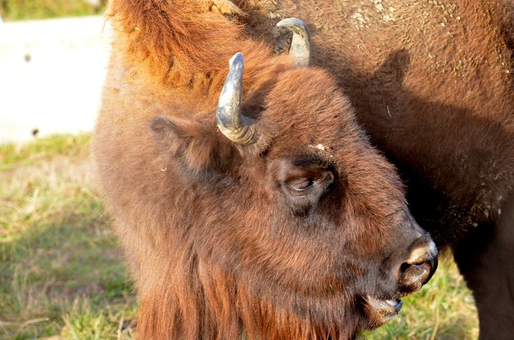 Buffalo at Vama Buzaului