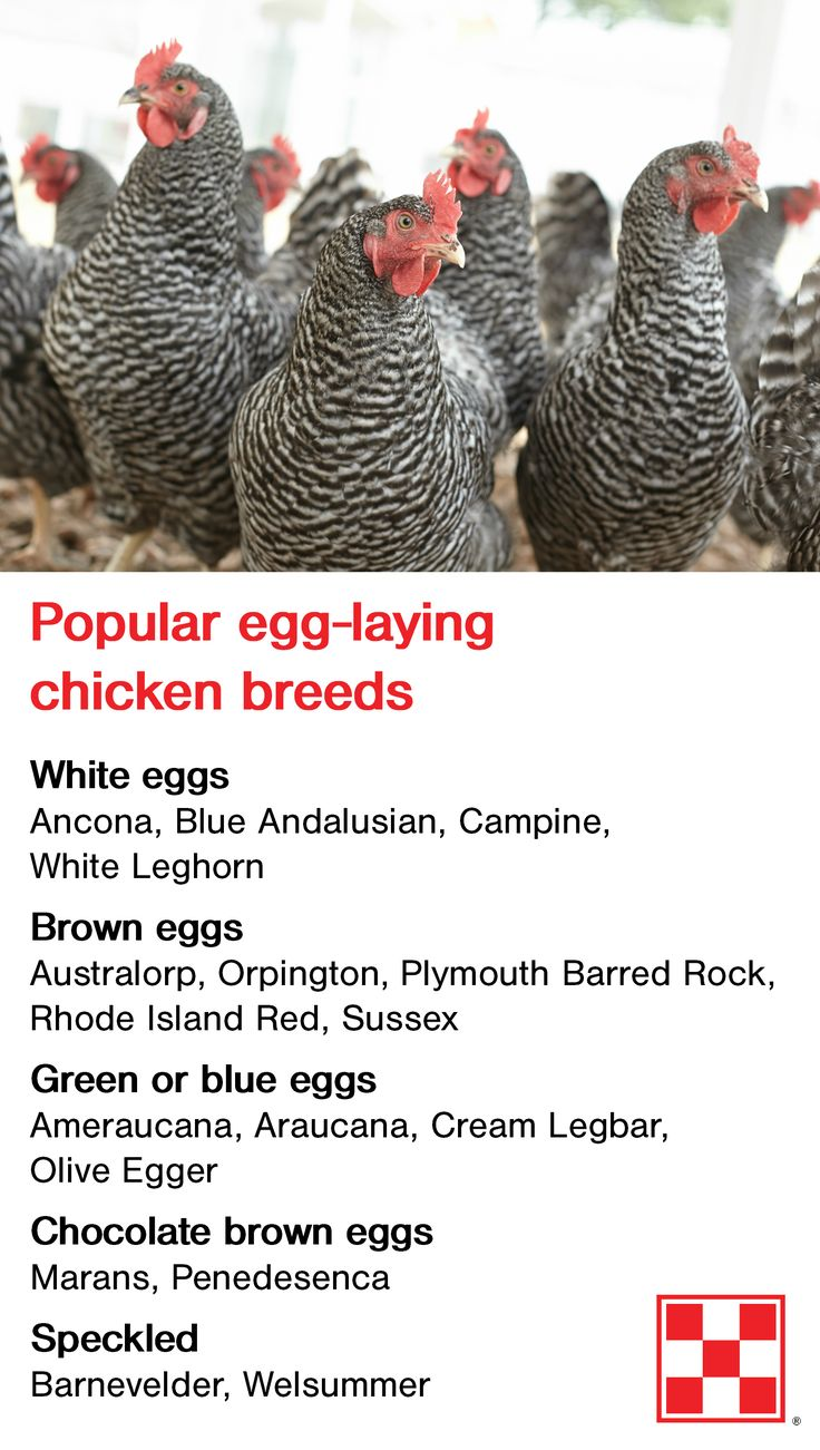 Backyard chicken breeds can lay eggs in many fun colors – from traditional white to olive green and chocolate brown. Click to learn more about breed selection!