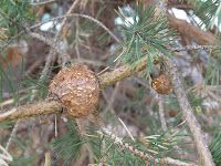A gall is an unusual overgrowth of plant tissue caused by a pest or pathogen. Fungi and some bacteria can cause galls to form on branches of trees and shrubs.