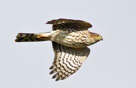 still relishing seeing this sharp shinned hawk