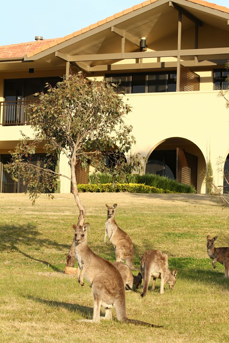Kangaroo's at Chateau Elan  #ChateauElan #Hunter Valley #TheVintage #Australia #Luxury #5Star #Hotel #Resort #Kangaroo #wildlife