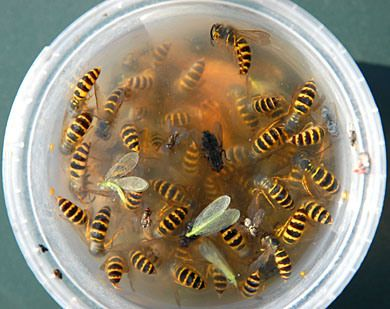Bee safe wasp trap. How to make your own wasp trap for free | Completegarden's Weblog