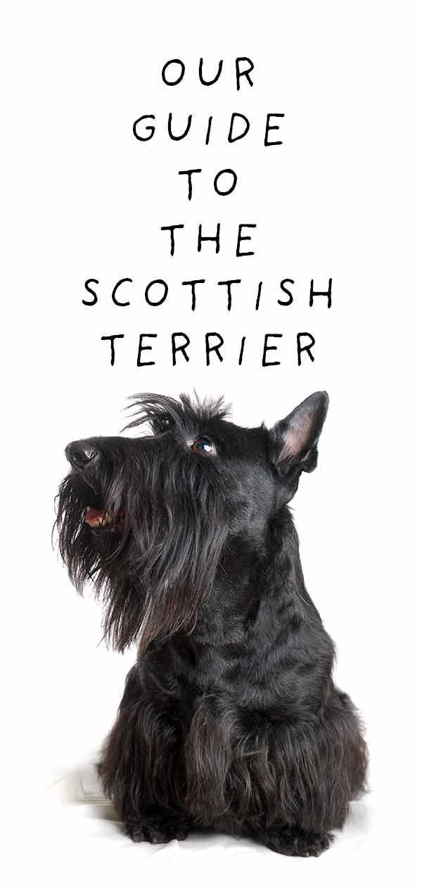 Scottish Terrier Would This Fascinating Breed Fit Your Lifestyle