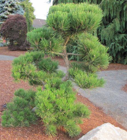 Pinus thunbergiana 39 hakuho 39 dwarf japanese black pine for Zen garden trees