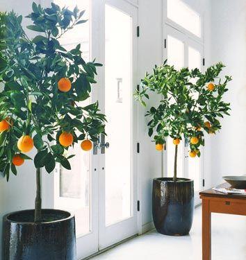 indoor orange trees.