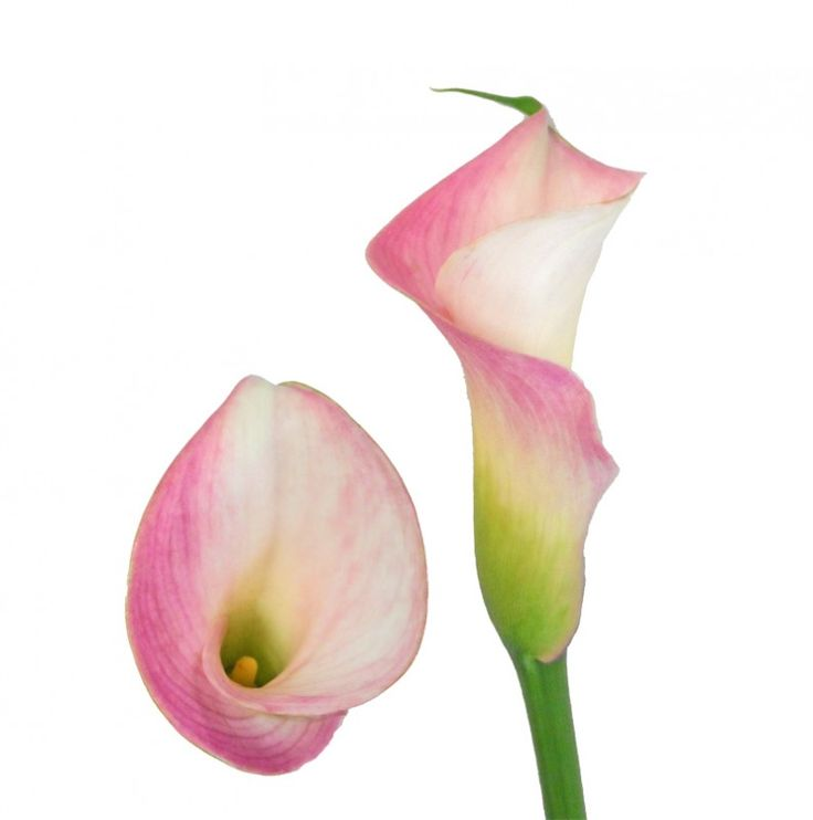 17 best images about calla lily colors on pinterest lemon drops shops and warm. Black Bedroom Furniture Sets. Home Design Ideas