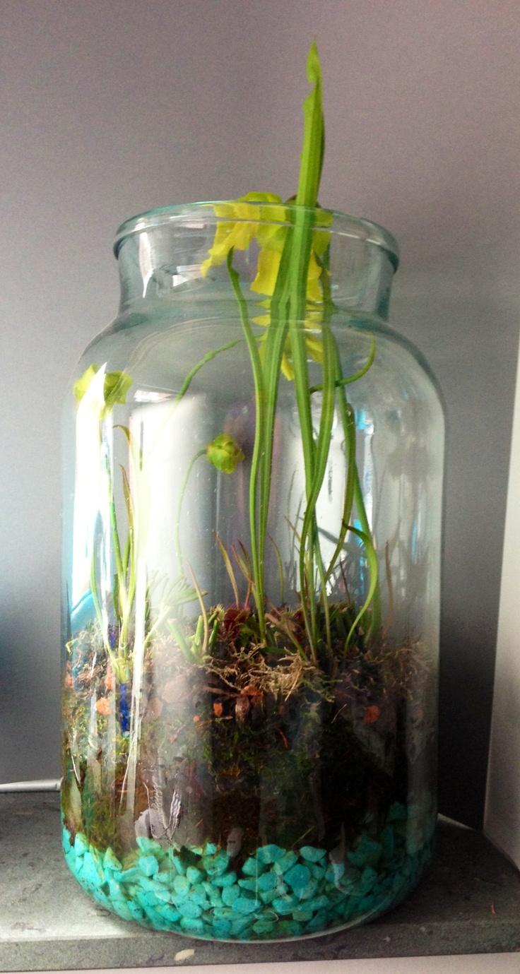 Indoor bog garden in glass jar with Pitcher Plants and ...