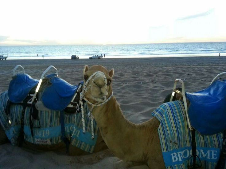 Cable beach camels Broome WA