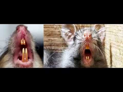 Hamilton Ontario Rat Exterminator http://ift.tt/2c8eFUB (289) 396-5426 or (905) 582-5502. Residential / Commercial Services - Experts in Rat Pest Control Service|Mississauga Oakville  Burlington & Hamilton Ontario. Contact your local MaximumPestControlServices center for your home or business rodents & Pests detailed inspection Today!   By far the best way to get rid of rodents and pests from home or business if you located in Mississauga Oakville Burlington and Hamilton would be to engage a…