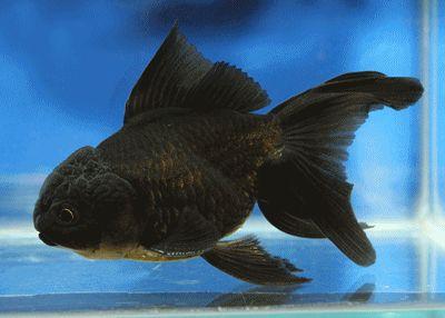 "Oranda Goldfish For Sale | Jelly head black orandas grade a """