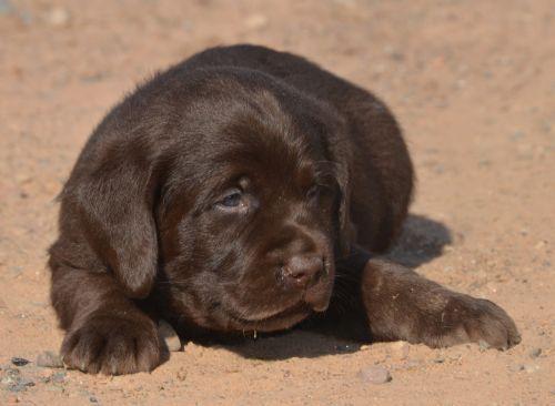 Best 25+ Labrador for sale ideas only on Pinterest   Labrador ...