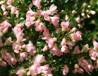 die besten 25+ arbuste fleur rose ideen auf pinterest | hinterhof