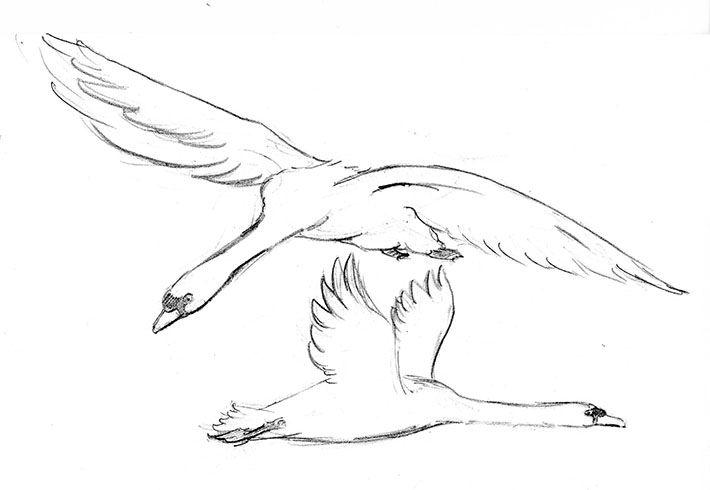 Лебедь в полете картинки раскраски