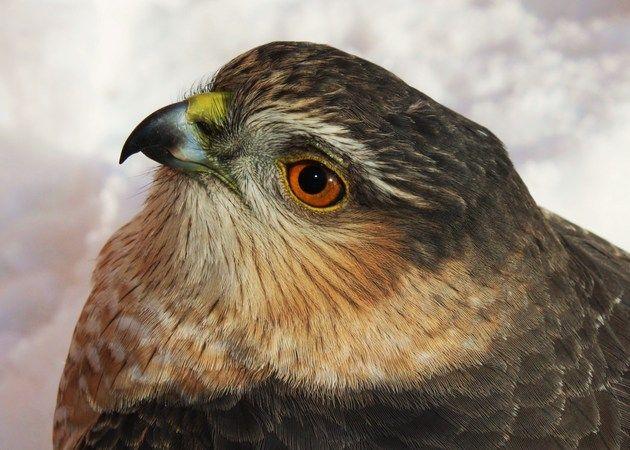 Cooper's Hawk by T.J. Schnoebelen, via Birds & Blooms