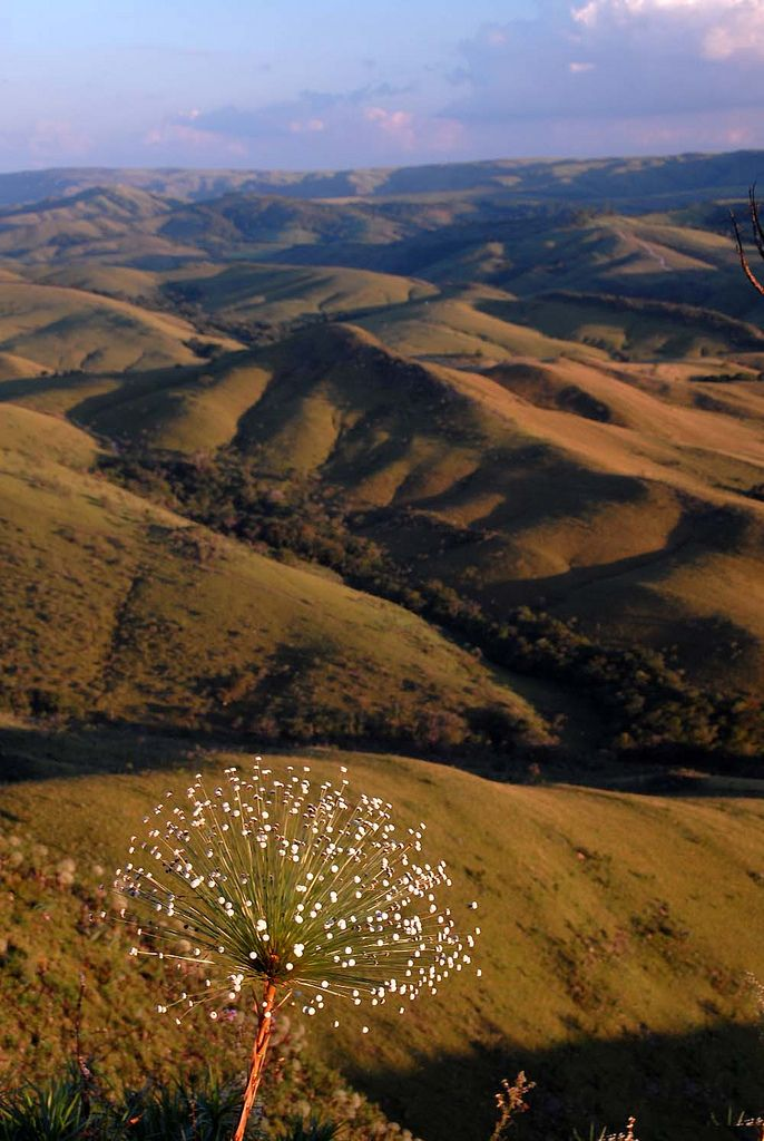 Serra da Canastra - Paepalantus   Flickr - Photo Sharing!
