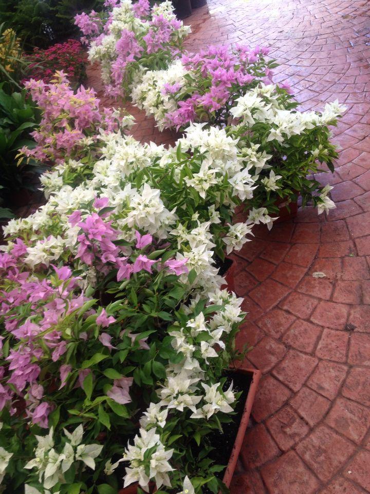 Hermosas Trinitarias de Inter Flora, en Santi Domingo. Están en mi ventanal