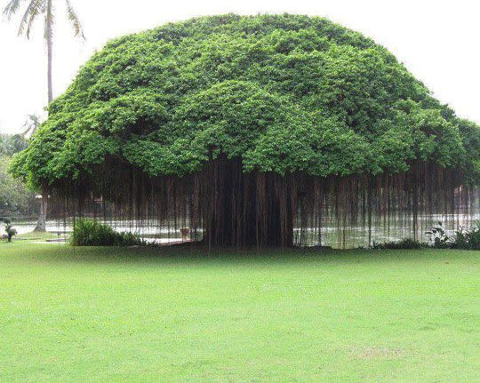 Majestic Banyan Tree