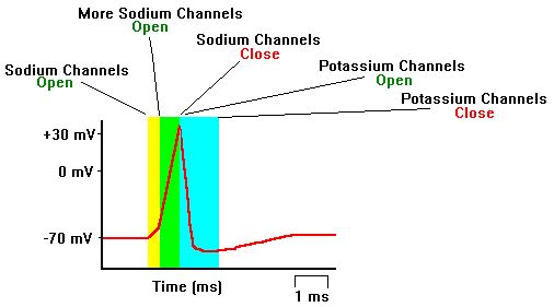 Propagation of Action Potentials - how the neurons work.