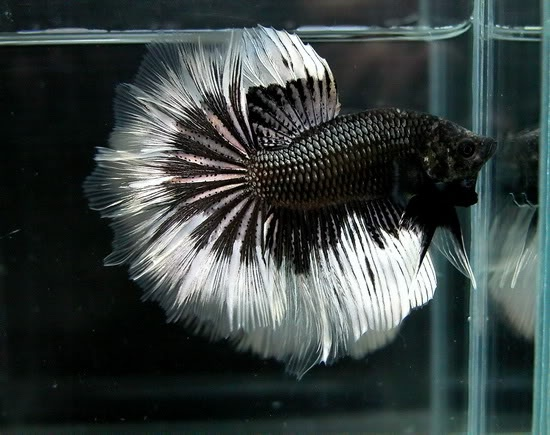 Black and white butterfly | Fancy bettas | Pinterest ...
