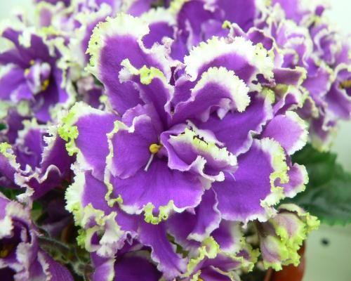 ЕК-Малахитовая Орхидея; Фиалки селекции Е.Коршуновой