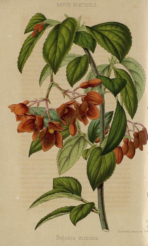 SNHF | Begonia mimata