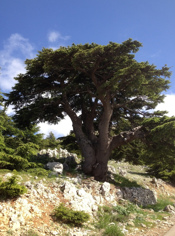 Cedar Tree - Lebanon | 1000 places to see before you die ...