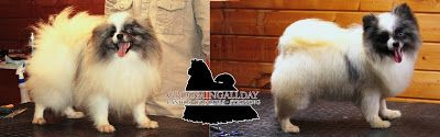 #GroomingAllDay: Lulu da Pomerania