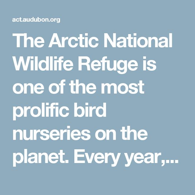 The Arctic National Wildlife Refuge is one of the most prolific bird nurseries on the planet. Every year, birds migrate through all fifty states and six continents to raise their chicks in its pristine habitat. The biological heart of the Refuge—and vital nesting ground for Tundra Swans, Northern Pintails,American Golden-Plovers and more—is a 1.5-million-acre region between the Arctic Ocean and the mountains, known as the coastal plain.The President's just-released budget calls for opening…