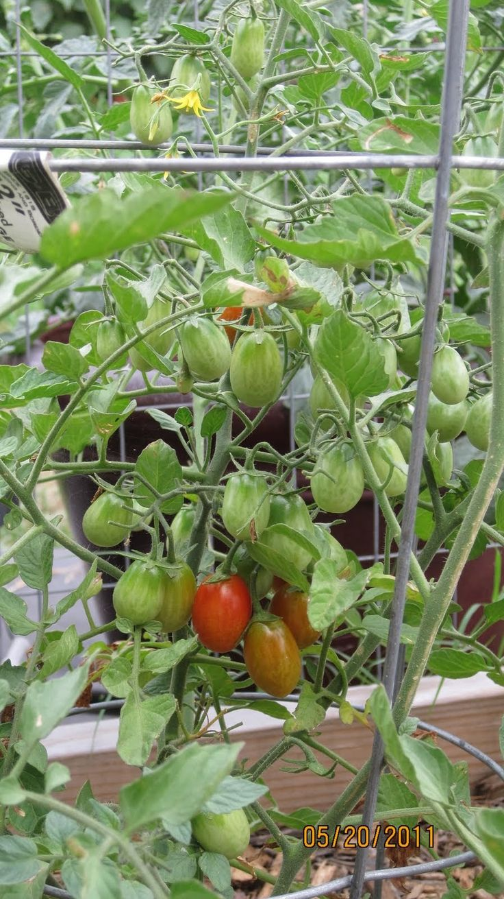 Growing cherry tomatoes in pots - Growing Grape Tomatoes In Containers