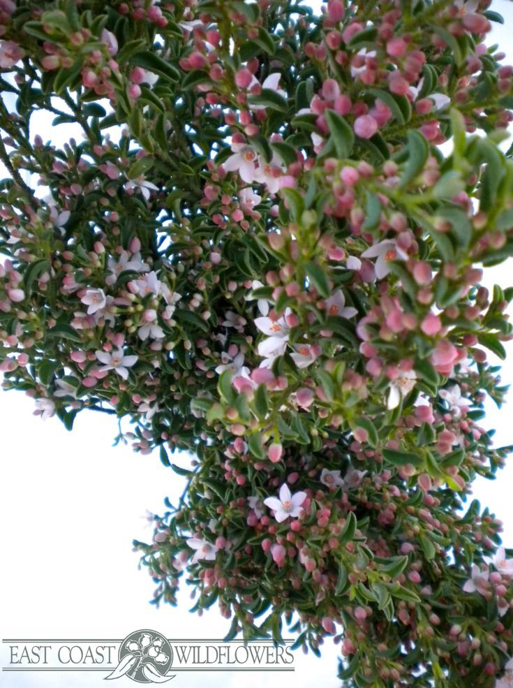 Eriostemon, pink wax - Available Sept. Blossom-style flower, so pretty for spring weddings