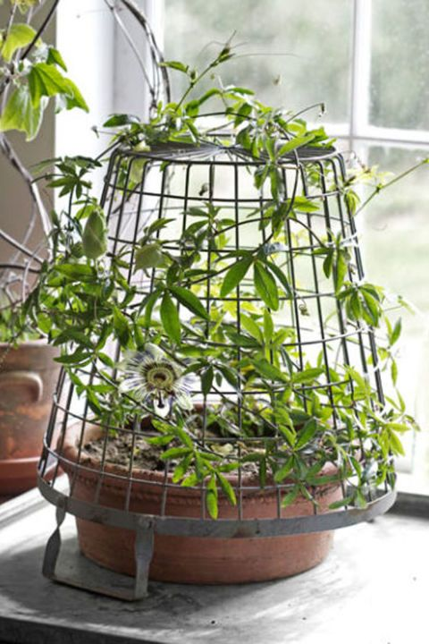Passionflower:  Most gardeners think of vines as outdoor athletes, ready to be trained up exterior fences and walls. But climbers can also soften windows inside, so long as you provide them with something to scale (a few nails and fishing wire will do the trick).