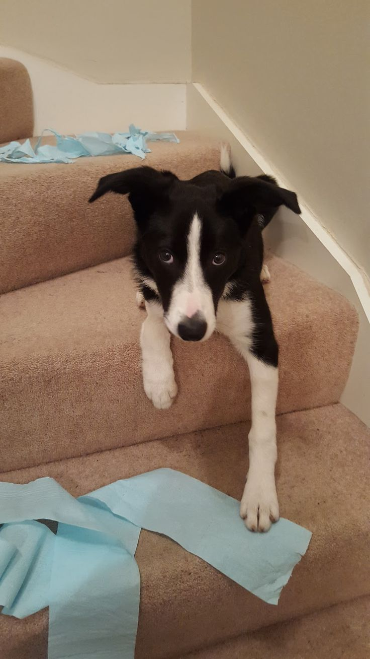 How About A Border Collie For The Next Andrex Puppy!?!
