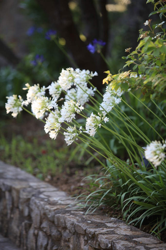 Agapanthes blanches, murets