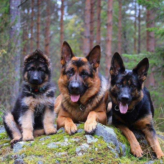 Gorgeous group!! @thepawsomegsdtrio germanshepherd ...
